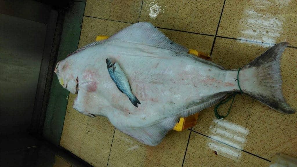 63 kilo halibut